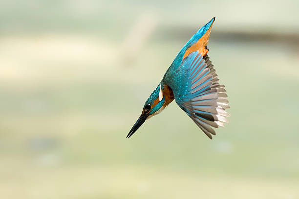 The Rocket - King Fisher diving King Fisher diving  kingfisher stock pictures, royalty-free photos & images
