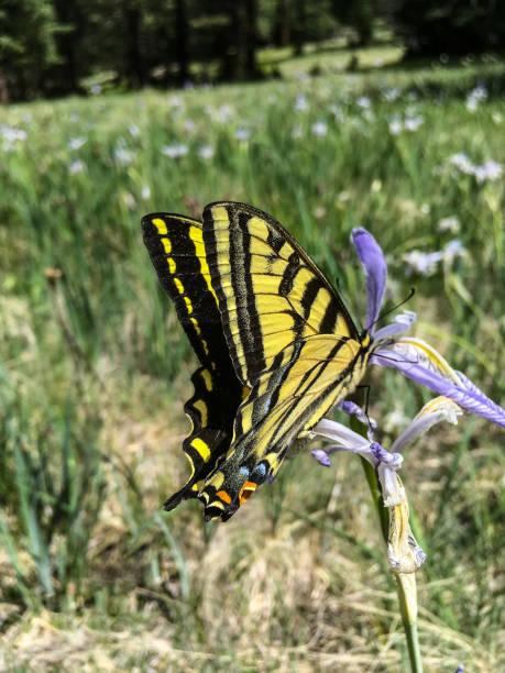 Tiger Swallowtail on a Wild Iris stock photo