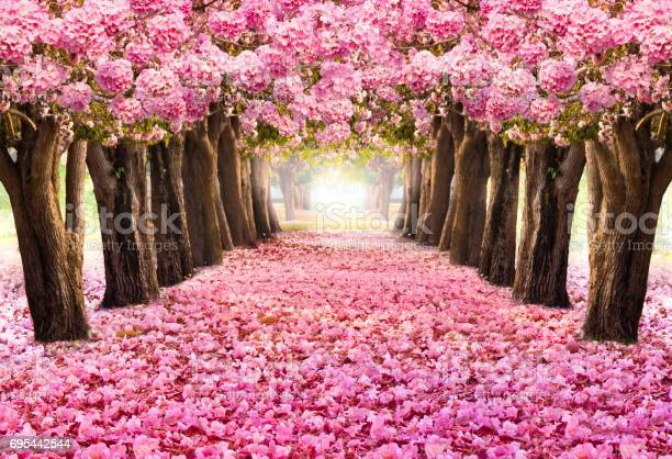 The romantic tunnel of pink flower treesblossom blooming in spring picture id695442544?b=1&k=6&m=695442544&s=612x612&h=ike8 4n4zm7rnug0uiiy2uwdo3ojbsgoedzff34ijd8=