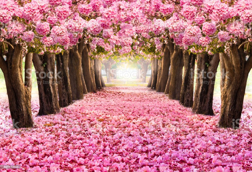 The romantic tunnel of pink flower trees.Blossom blooming in Spring - Summer season. stock photo