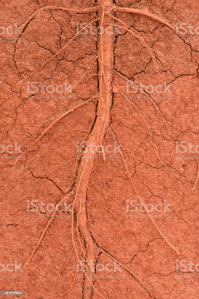 The root of the tree in the ground stock photo
