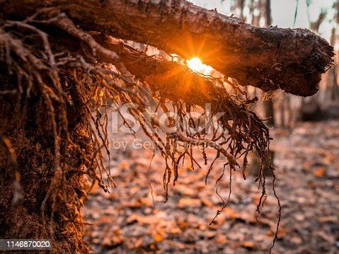 The roots of a fallen tree in the rays of sunset