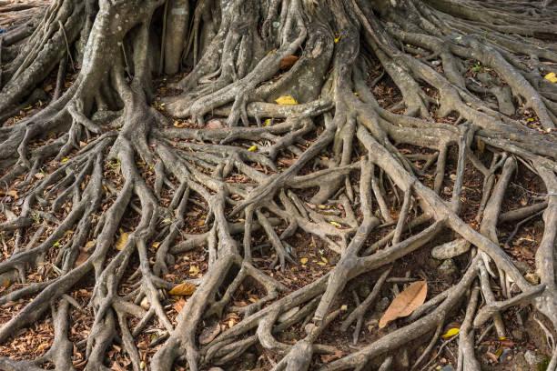 Die Wurzeln des alten riesigen Baumes auf dem Boden. Thailand. – Foto