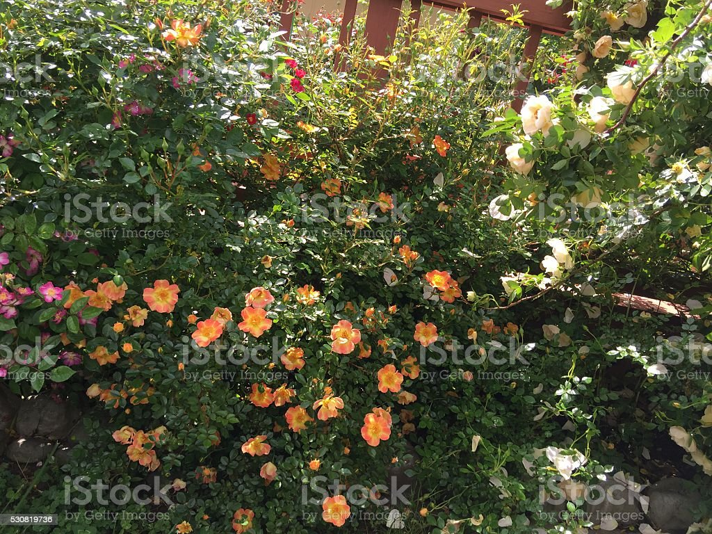 The Rose Garden stock photo