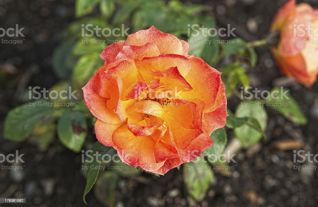 The rose royalty-free stock photo