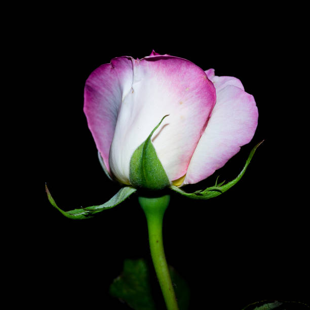 The rose queen of the garden at night - foto stock