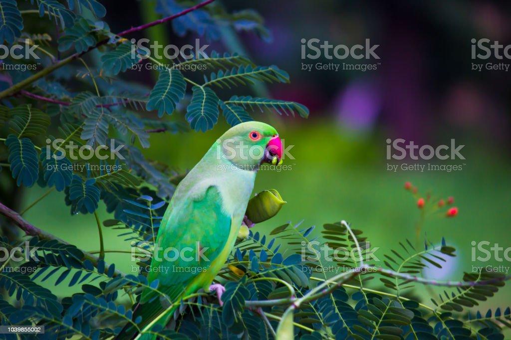 The Rose Ringed Parakeet stock photo