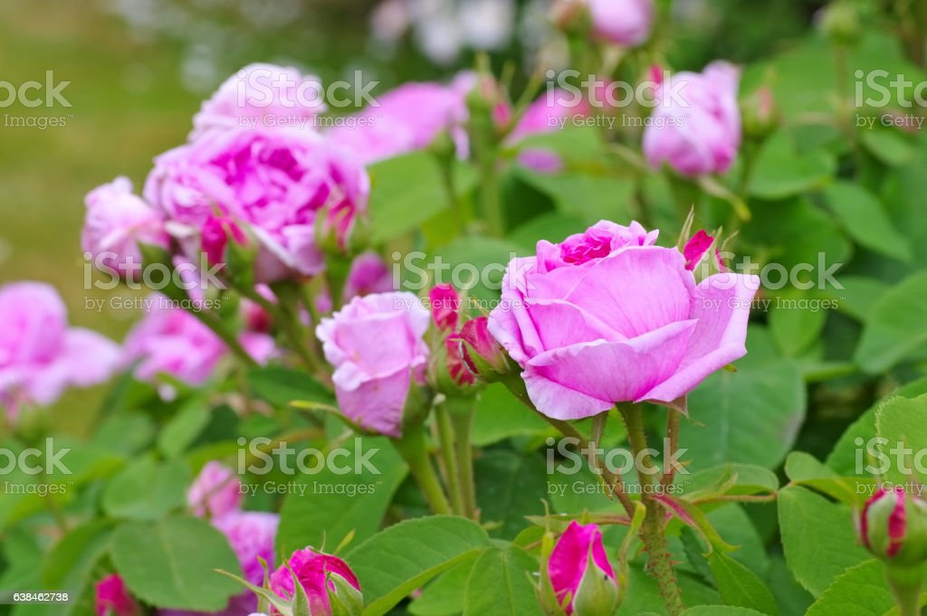 the rose Rose Madame Boll in summer stock photo