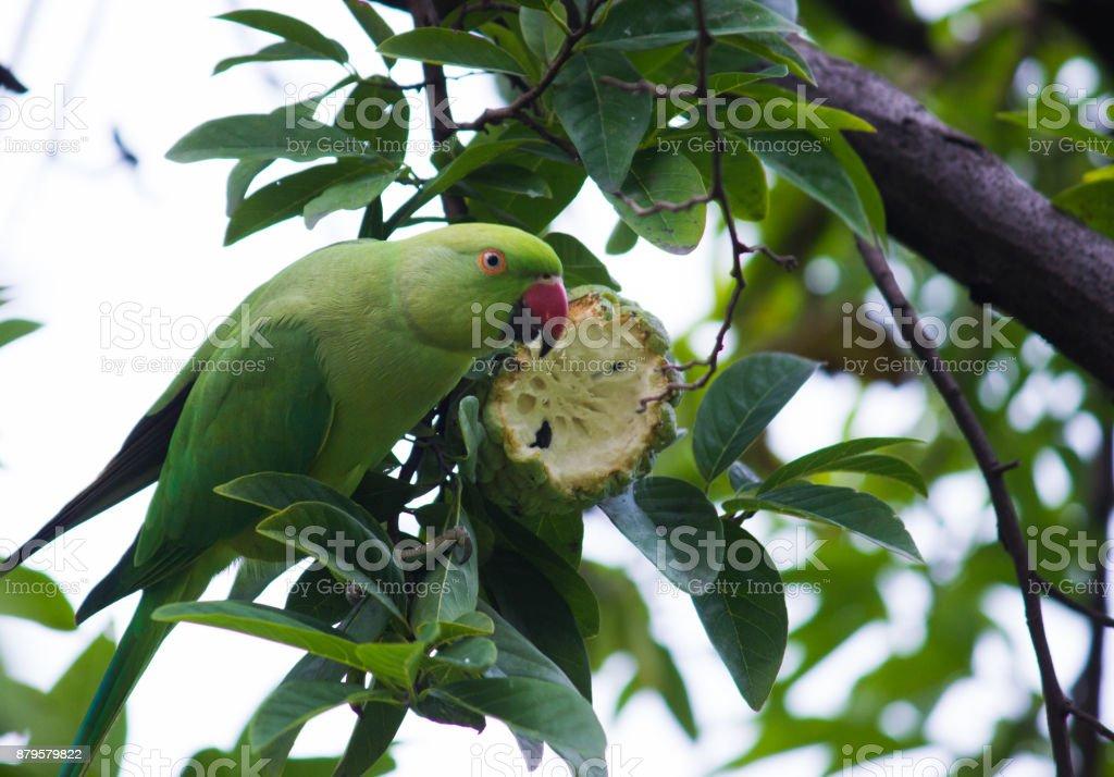 The rose-ringed parakeet stock photo