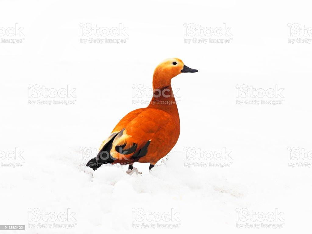 The ruddy shelduck against white snow background. Tadorna ferruginea, in India the Brahminy duck, family Anatidae. Waterfowl with orange body plumage. Migratory bird stock photo