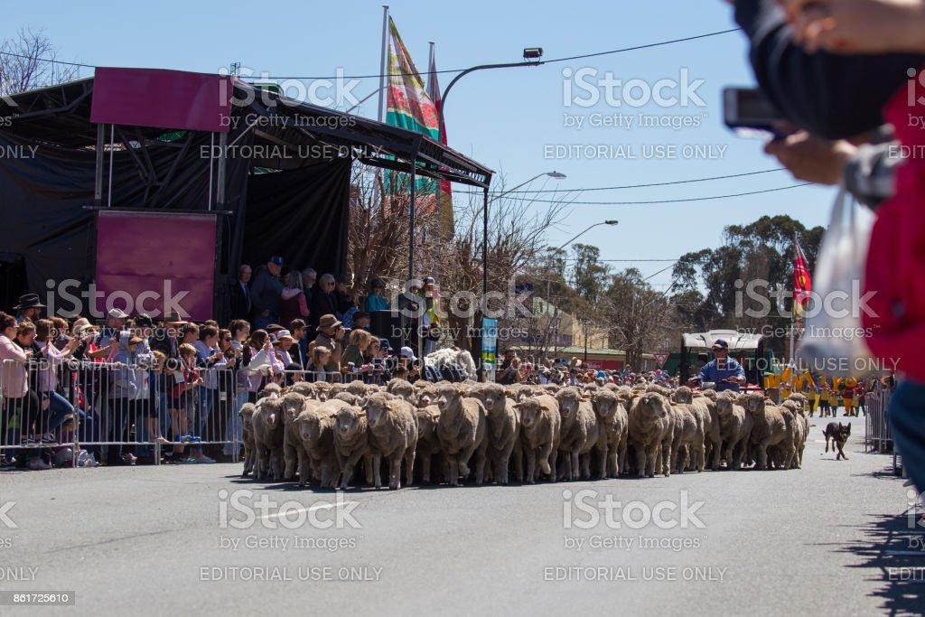 The running of the sheep - Boorowa Irish Woolfest Main Attraction stock photo