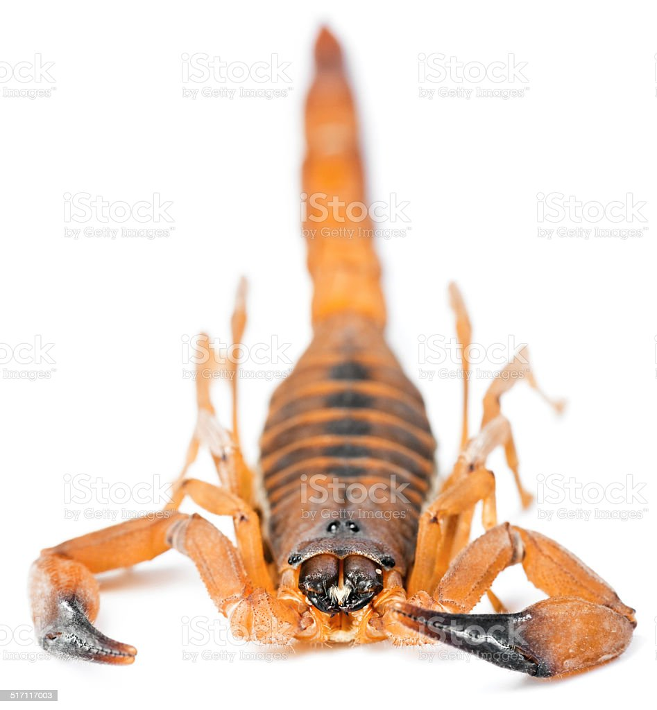 The Rusty Thick Tail Scorpion stock photo