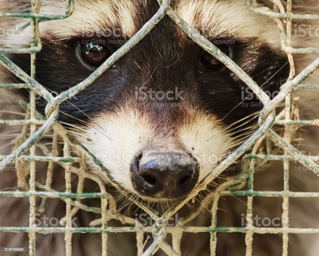 the sad  look of a raccon behind the cage stock photo