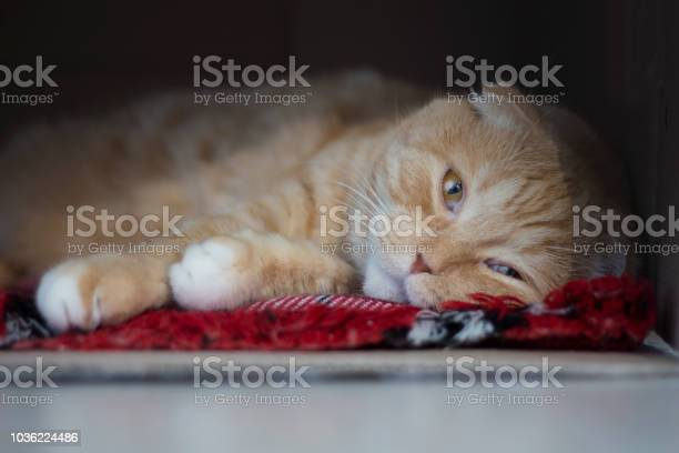 The sad red scottishfold cat lies in a box picture id1036224486?b=1&k=6&m=1036224486&s=612x612&h=0lah637ruv nf3o8wnjvin9rk9s55yv6dv8cykauy00=