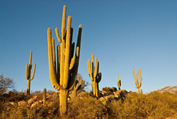 Saguaro Cacti stock photo