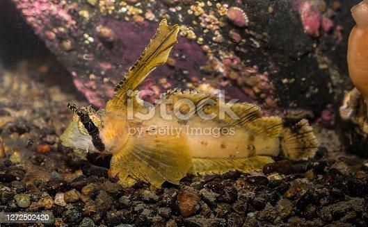 The sailfin sculpin (Nautichthys oculofasciatus, lit.