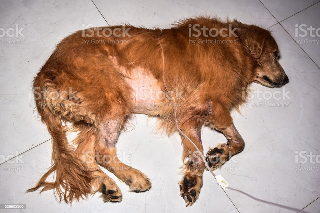 The Saline Subcutaneously To Dogs The Dog Kidney Disease Stock Photo