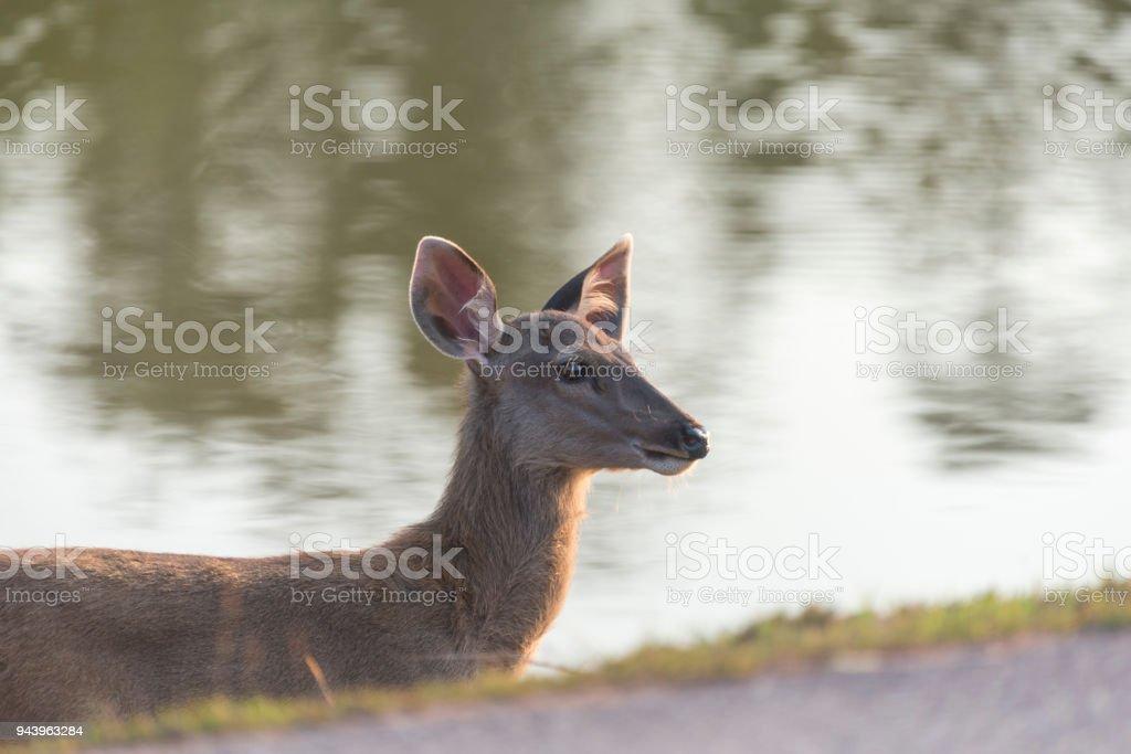 the sambar deer in Khao Yai National Park, Thailand stock photo