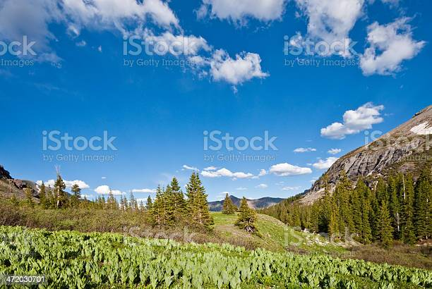 Meadow Of False Hellebore Stock Photo - Download Image Now