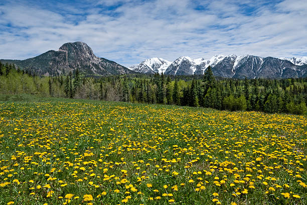 Meadow of Dandelions in the San Juan Mountains The San Juans in southern Colorado are a range of mountains that straddle the Continental Divide. This high altitude range is known for its wide-open landscape and abundant wildflowers. This meadow of dandelions was found below Potato Hill in the San Juan National Forest, Colorado, USA. san juan county colorado stock pictures, royalty-free photos & images