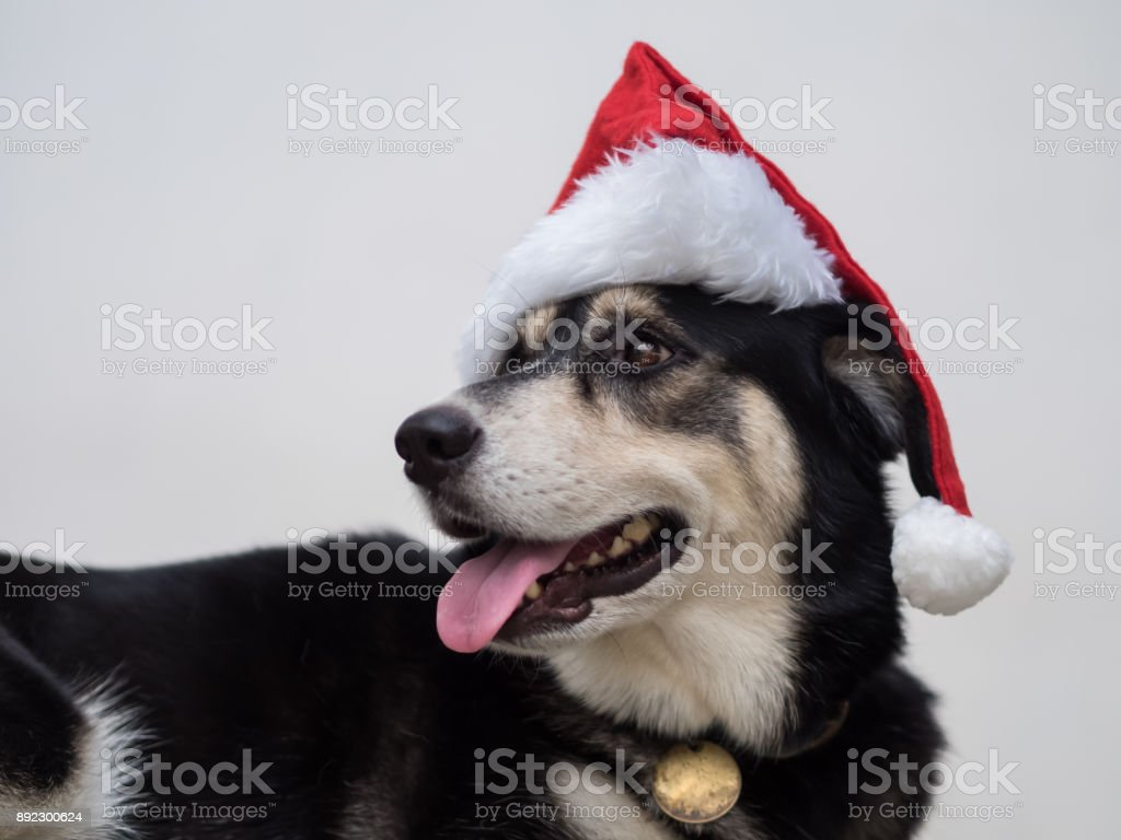 The Santa Claus dog is curious with something she heard.  Anyway, she is still happy with from her looking and her smiling mouth. stock photo