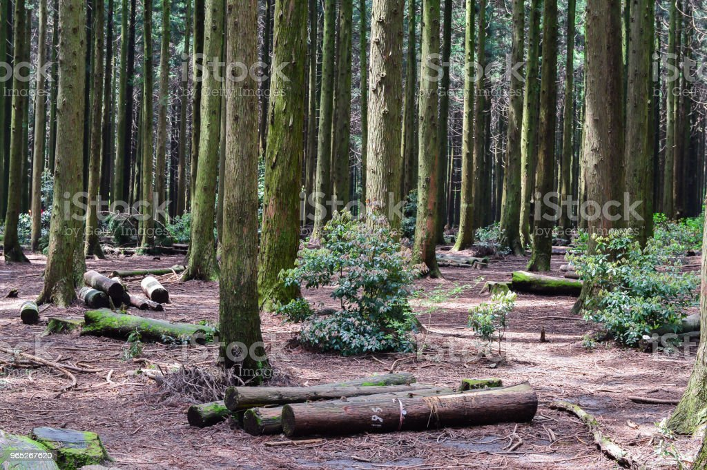 The Saryeoni forest path is located in Jejudo island royalty-free stock photo