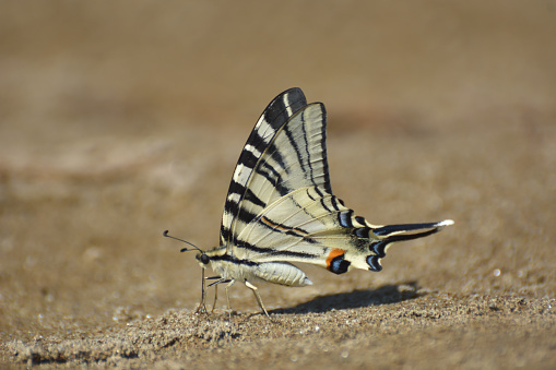 The scarce swallowtail or sail- or pear-tree swallowtail (Iphiclides podalirius)