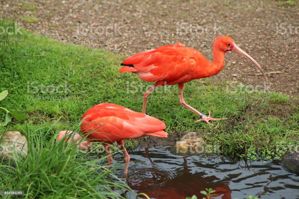 The scarlet ibis (Eudocimus ruber) stock photo