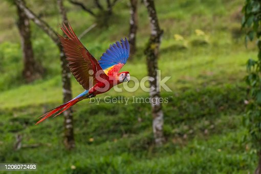 The scarlet macaw (Ara macao) is a large red, yellow, and blue Central and South American parrot found in Costa Rica