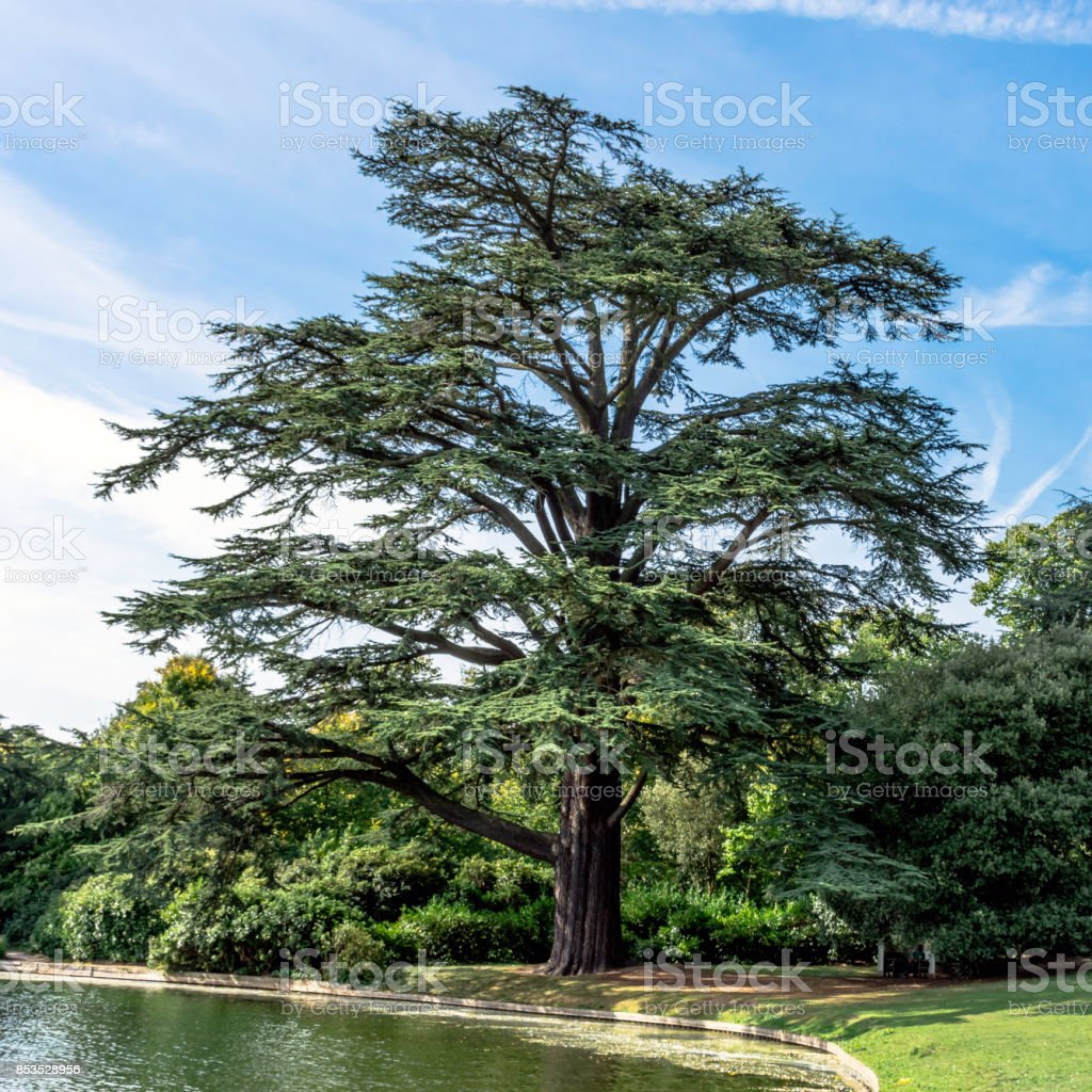 The Scots pine -  keeper of the forest stock photo