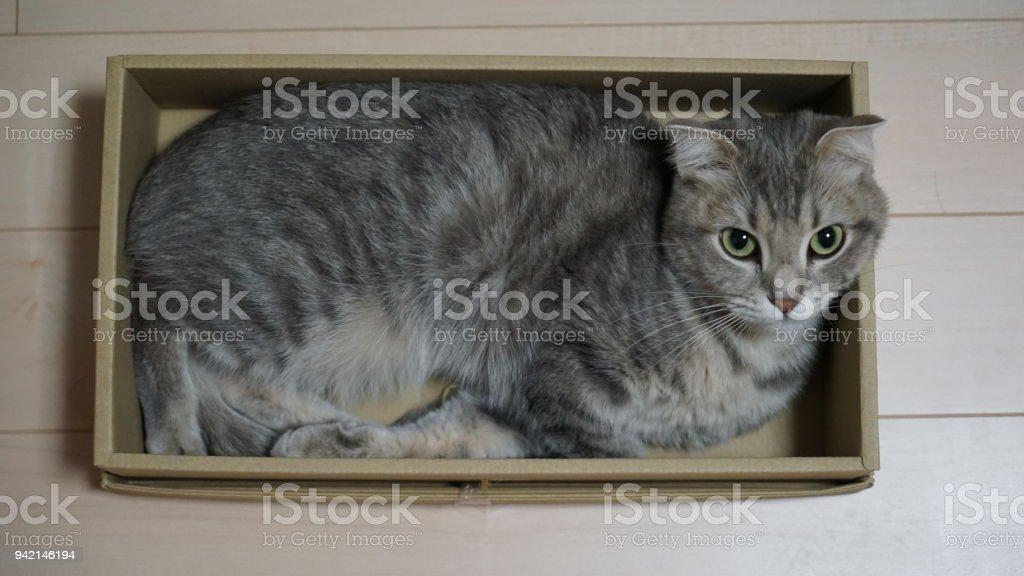 El pliegue escoc que entra en una pequeña caja - foto de stock