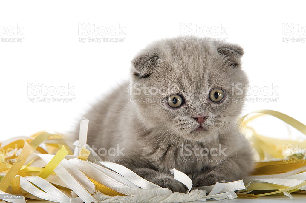 The Scottish lop-eared  kitten royalty-free stock photo