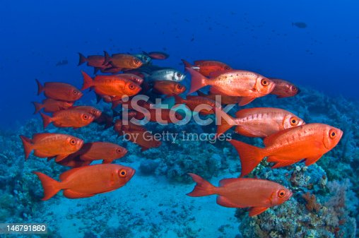 Shoal of red snappers in Red Sea.