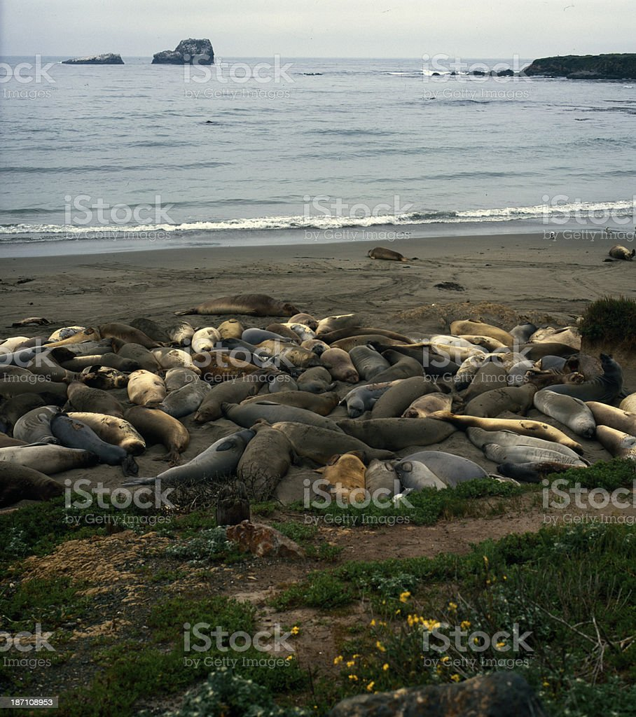 The sea lions pile royalty-free stock photo