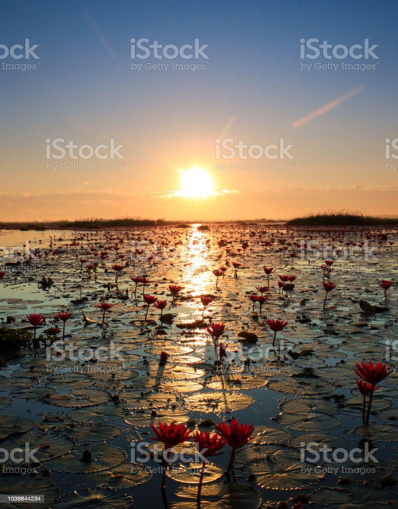 Das Meer von roten Lotus, See Nong Harn, Udon Thani, Thailand – Foto