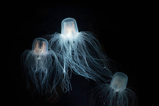 The Sea Wasp - Immortal Jellyfish The Sea Wasp - Immortal Jellyfish eternity stock pictures, royalty-free photos & images