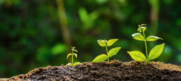 묘 종 아침 햇빛에 빛나는 하는 생태 개념 부유한 토양에서 성장 하고있다. - 재배 식물 뉴스 사진 이미지