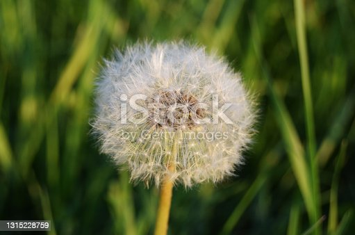 The seeds of a dandelion. Medicinal plant. White dandelion flower in the grass macro close-up.