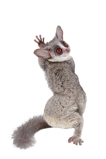 Royalty Free Bush Baby Pictures, Images and Stock Photos ...