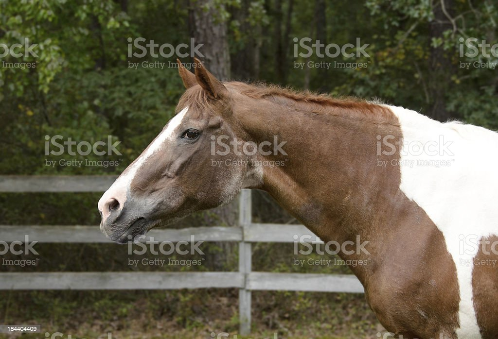 The Senior Horse stock photo