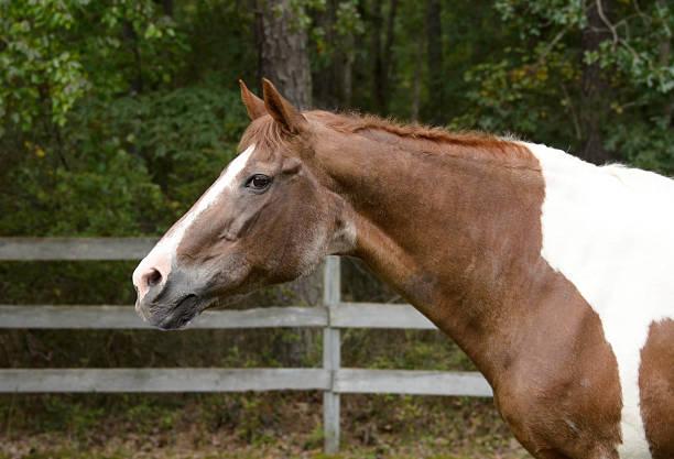 The Senior Horse stock photo