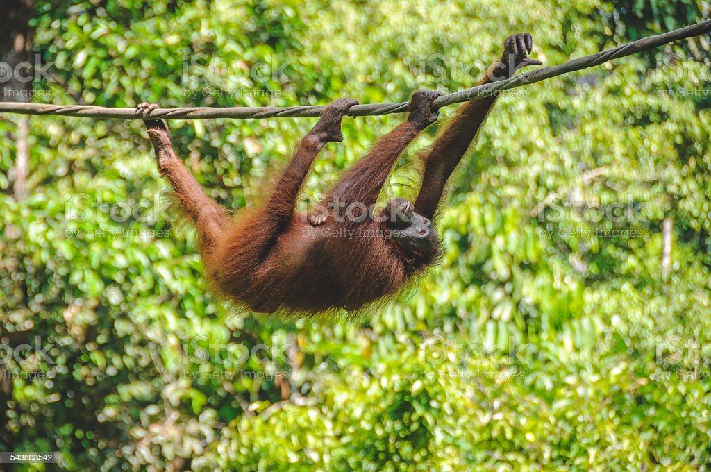 The Sepilok Orangutan rehabilitation centre stock photo