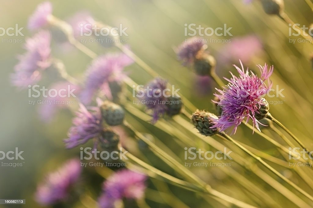 The setting sun shines on thistle flower stock photo