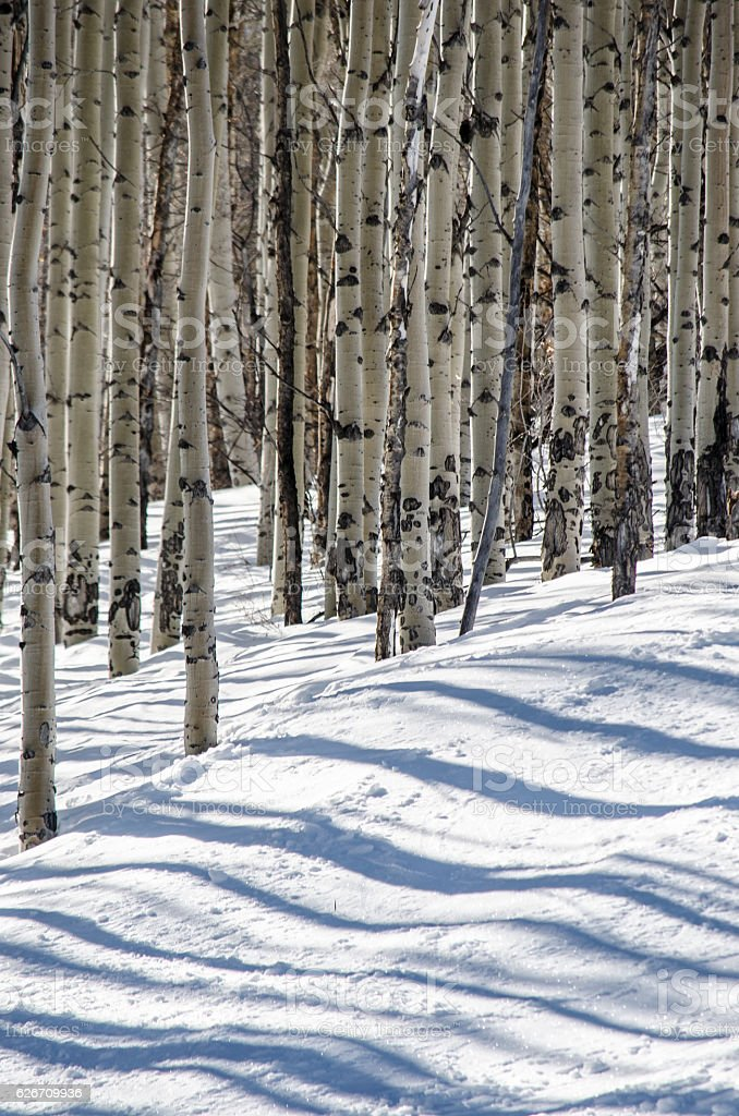 The Shadows of Winter Aspens in the Snow stock photo