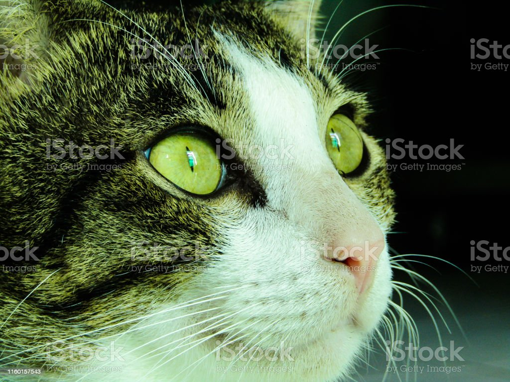 The Sharp Gaze of a Domestic Cat. This Cat is Staring at its Prey...