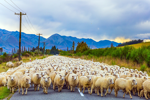 The sheep is moving along the highway