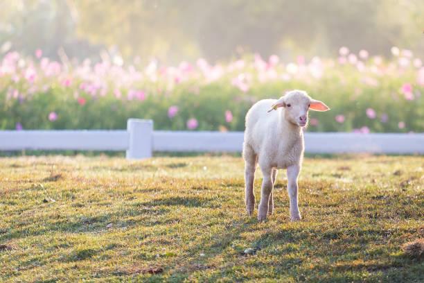 Les moutons dans une ferme en plein air - Photo