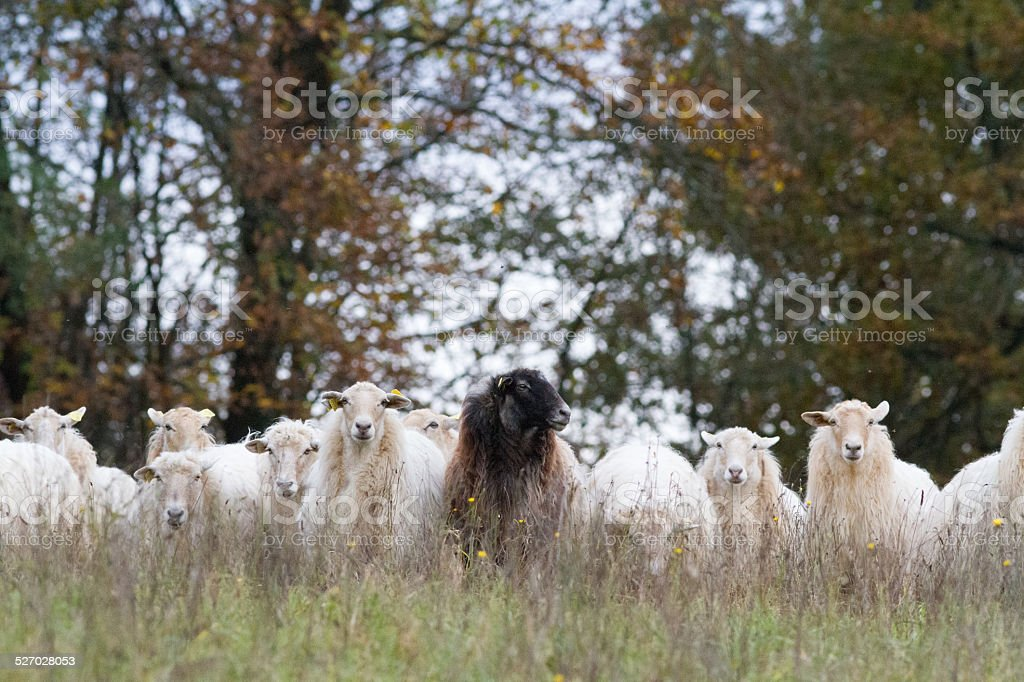 Le sheeps - Photo