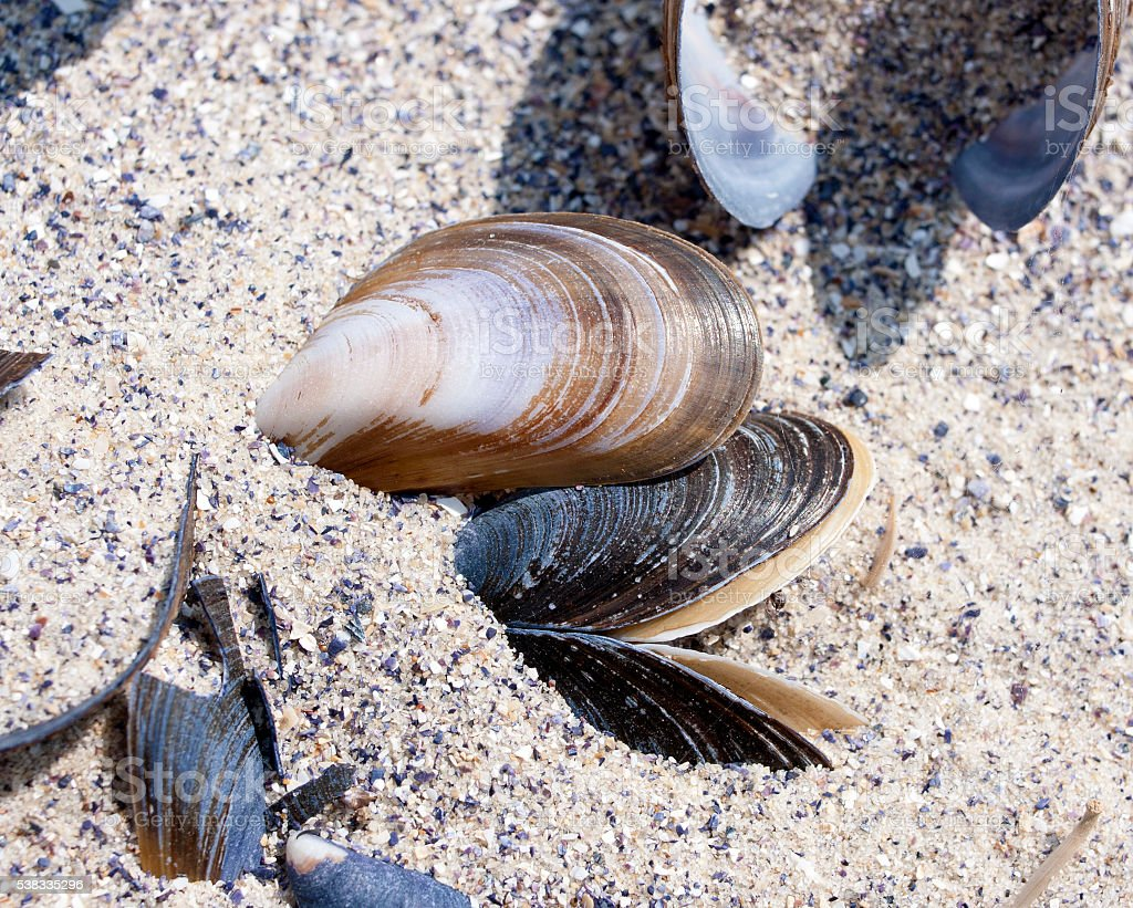 The shells of mussels in the sand stock photo