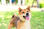 The Shiba Inu species is looking at its owner in the park.
